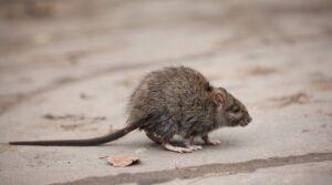 Skadedyr kan ødelægge meget hvis du ikke får dine udfordringer løst i tide
